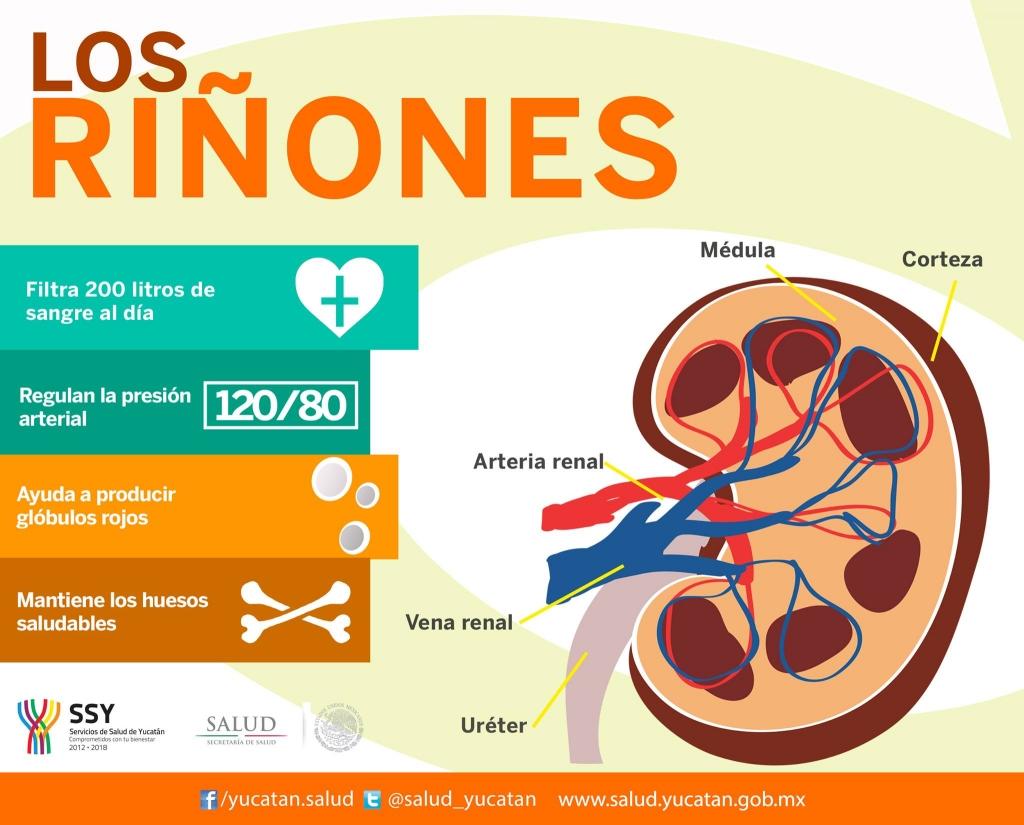Infografía sobre los riñones